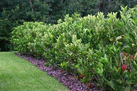 Viburnum Suspensum 6 8 High Evergreen Shrub Leaves Are About 3 Long Produce Small White Flower In Spring Garden Hedges Outdoor Landscaping Outdoor Plants