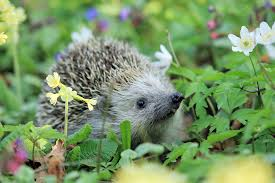Hedgehog, Spring Animal Photo | AmO