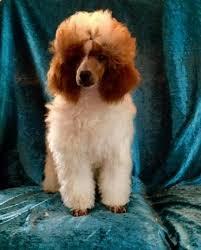 standard poodles red toy poodle