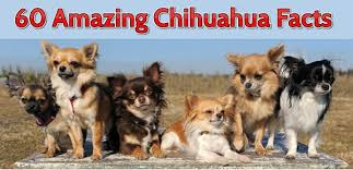 60 amazing facts about chihuahuas that