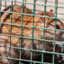 Seoulvirus is een hantavirus en wordt overgedragen door ratten. M5slpc7bz H2lm