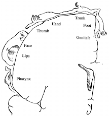 the penfield homunculus notice that