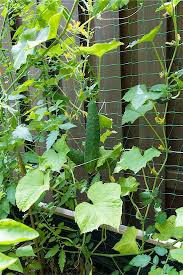 How To Grow Cucumbers Up The Fence
