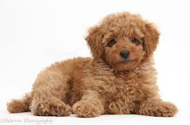 toy poodle wallpaper on wallpapersafari