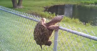 Ninja Turtle Who May Be A Teenager Climbs Fence Cbs News