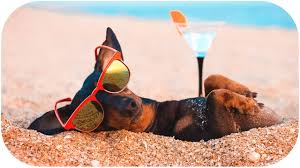 Dachshund, who doesn't waste summer! Funny dog video! - YouTube
