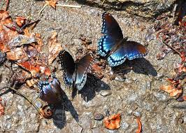 Mud-puddling butterflies Photograph by Adriana Holmes