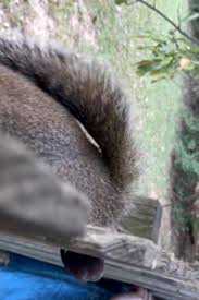 Eye Watering Moment Squirrel Is Found Stuck In A Fence By His Testicles But He Finally Manages To Yank Himself Free
