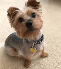 cute yorkie haircuts for your puppy