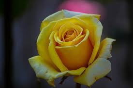 yellow rose free stock photos