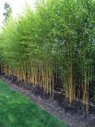 Phyllostachys Aureosulcata Spectabilis Privacy Landscaping Bamboo Landscape Bamboo Garden
