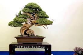 top 10 juniper bonsai trees bonsai