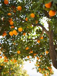 When Do Orange Trees Get Oranges? | Home Guides | SF Gate