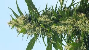 Durban Poison - Blunts Garden | Recreational and Medical Marijuana