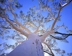 Image result for river white gum tree