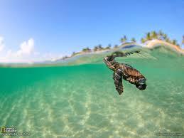 sea turtle wallpaper 1600x1200 6480