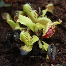 Venus Fly Trap Care - How To Grow A ...
