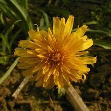 prairie dandelion miss chen garden