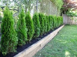The Benefits Of Planting Red Cedar Trees Privacy Fence Landscaping Fence Landscaping Privacy Landscaping