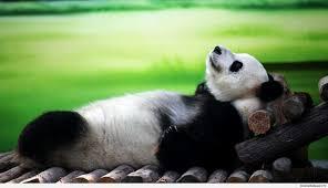 69 panda bear wallpapers on wallpaperplay