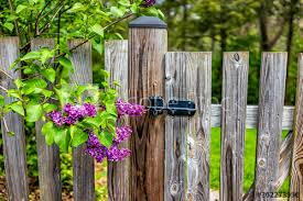 Idyllic Peaceful Garden In Virginia With Closed Wooden Fence Door Gate Entrance By Purple Spring Springtime Lilac Flowers On Tree And Nobody Buy This Stock Photo And Explore Similar Images At