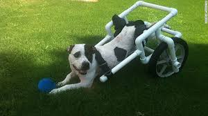 paralyzed pooch steals hearts gets new