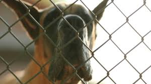 Dog Barking Locked Behind Fence Great Dane Breed Barking Against Intruders In 4k Clip Resolution Stock Video Download Video Clip Now Istock