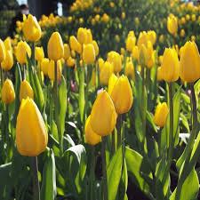 Bildergebnis für tulpen