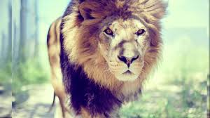 latest lion wallpapers 1080p hd you