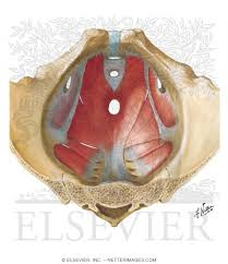 diaphragm male floor of
