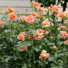 rose bushes at the home depot