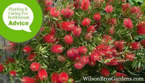 How To Plant Fertilize Prune Water Bottlebrush Callistemon Plants Wilson Bros Gardens