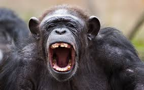 chimps seen ing brains from monkeys
