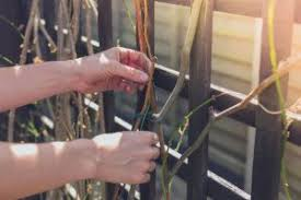 Will Climbing Vines Damage A Wood Fence Pacific Fence Wire Co