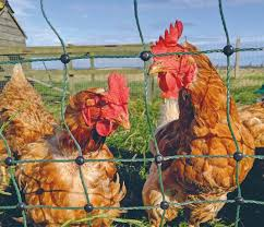 Buying Your Electric Poultry Netting Kit