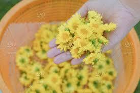 chrysanthemum flower on hand in garden