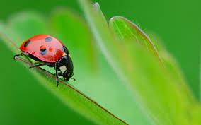 file ladybug wallpapers 6c76246 jpg