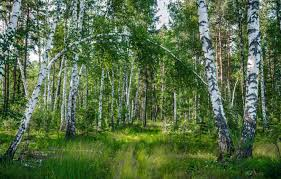 wallpaper forest summer trees russia
