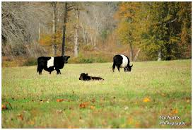Poland China Cows by TheMan268 on DeviantArt