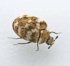 7 tips on carpet beetle removal the