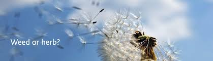 our logo the dandelion seed