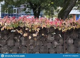 Boston Ivy On The Gabion With Filled Wood Stock Photo Image Of Exterior Metal 194931162