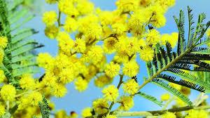 National Wattle Day ...
