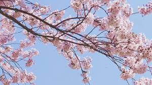 المشي تحت أشجار الكرز Nippon Com Youtube