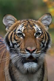 A Tiger at the Bronx Zoo Has Tested ...