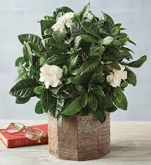 4 gardenia harry david