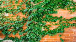 Boston Ivy Plants Growing And Planting Tips