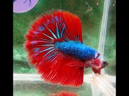 stained glass hm sibling betta pair
