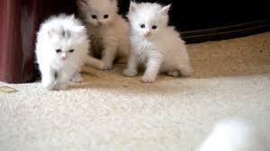 قطط صغيره بيضاء قطط بيضاءللبيع على سنابي Hassan Zzzz قطط حسن