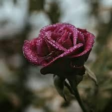blury image of a beautiful rose hd
